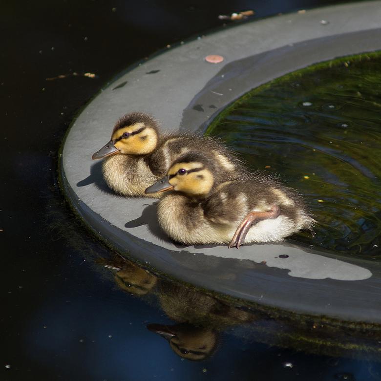 Eindelijk voorjaar - Jonge eendjes in mijn natuurvijver doen het altijd goed, vooral als de zon wil schijnen. Hier op de fonteinring.<br /> <br /> V