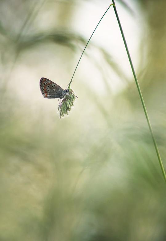 Hanging in the greens - Hangend in het groen ontwaakte dit Bruin blauwtje. Dank voor jullie reactie's op 'Almost'. Groet Arjo.