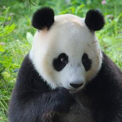 Innocent Panda