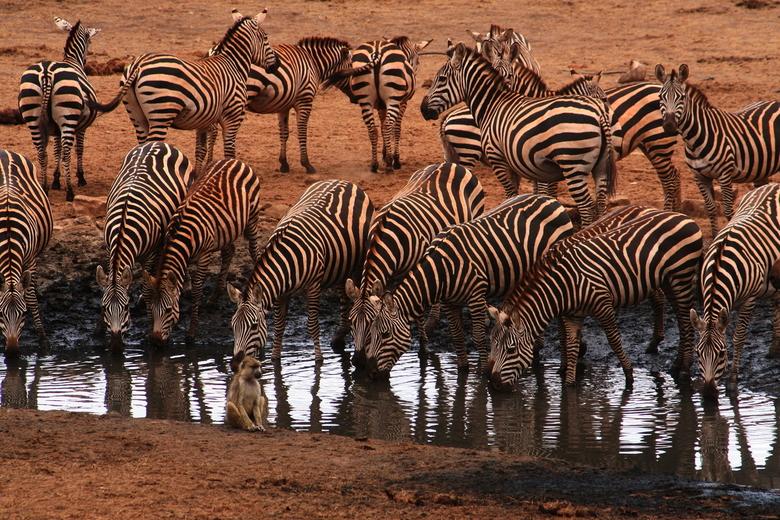 Drinkplaats inTanzania - Zebra's rood van het stof aan een drinkplaats