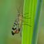 Weideschorpioenvlieg