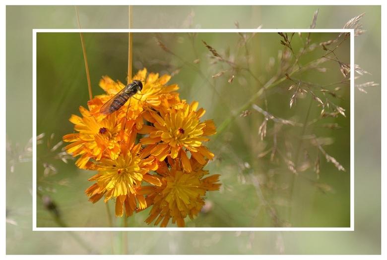 Insect met bloem - Wesp op een rood-gele bloem, lijstje gemaakt met Paint Shop Pro.