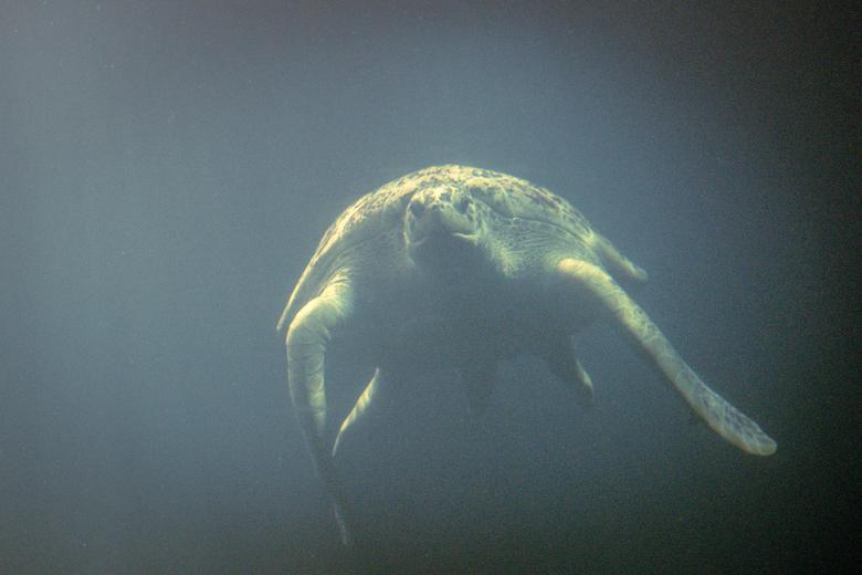 zwevend in het licht - Schilpad in Wildlands Emmen. <br /> Het licht viel zo mooi op de dieren in het water.