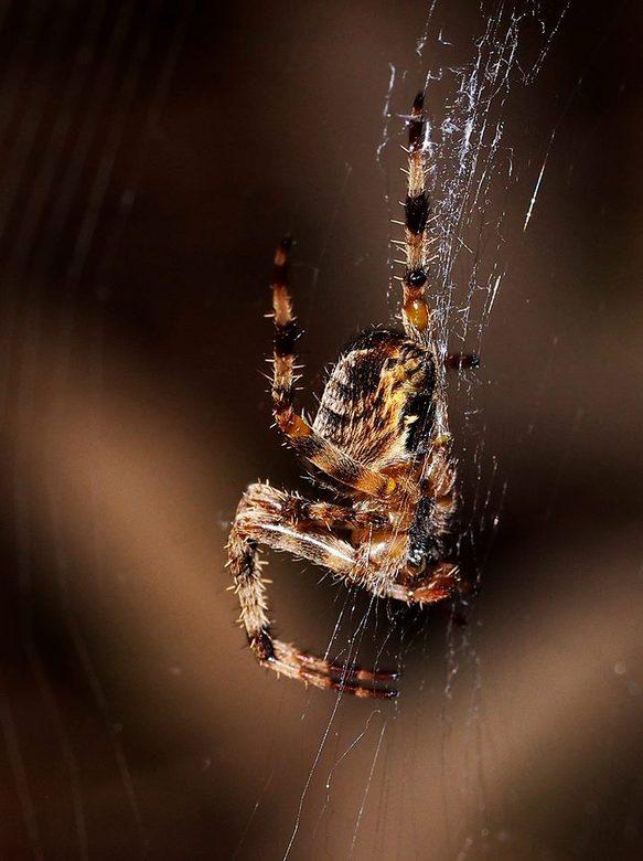 Geduld - Spin wacht geduldig af midden in zijn web.