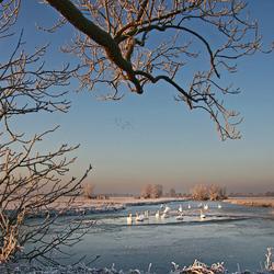 Winter zwanen