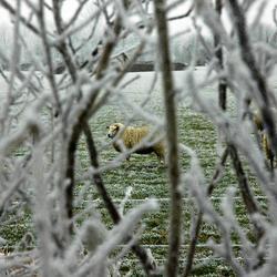 Schaap winters landschap