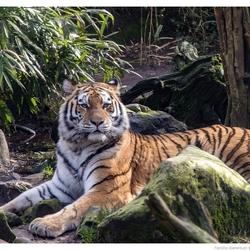 4345 tijger