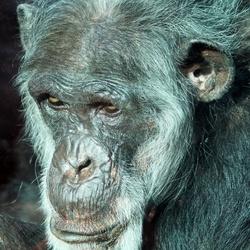 Chimpansee dierenpark Amersfoort