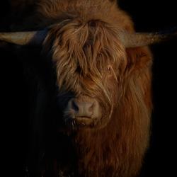 Deelerwoud 3 - Schotse Hooglander 2