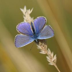Icarusblauwtje met geopende vleugels