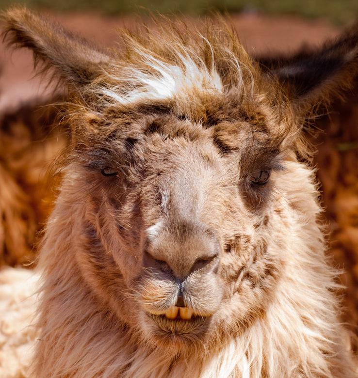 Lama 4 - De laatste lama van de vakantie, was al een tijdje geleden dat ie naar de kapper was geweest (of tandarts).