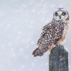 Velduil in de sneeuw...