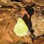 citroentje met waterjuffer in Chaamse bossen