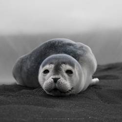 Lonely Seal