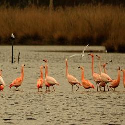 Flamingoos