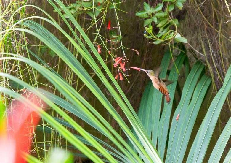 Kolibri - Deze Kolibrie kwam regelmatig lang voor deze bloemen. Mooie kans voor mij om er een foto van te maken