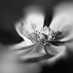Nog een anemoon in zwart wit.