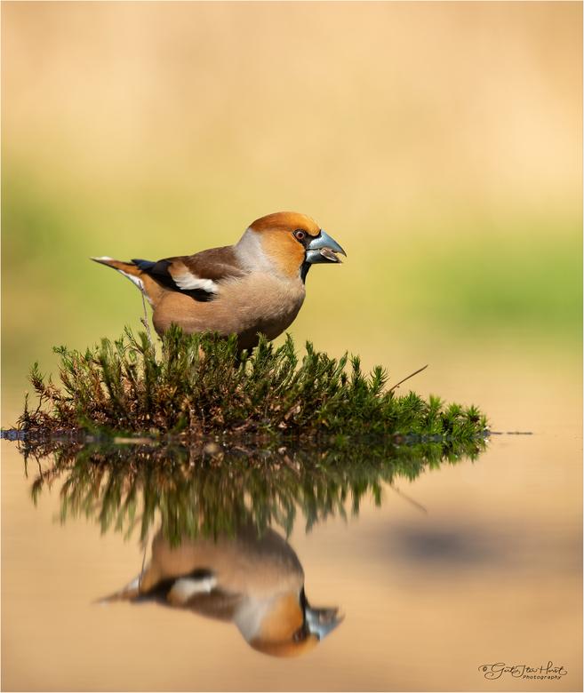 Appelvink man reflectie 290319 - Even een zaadje zoeken in deze pol mos in het midden van de vijver.
