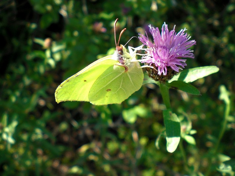 Vlinder op klaverbloem - Vlinder op klaverbloem