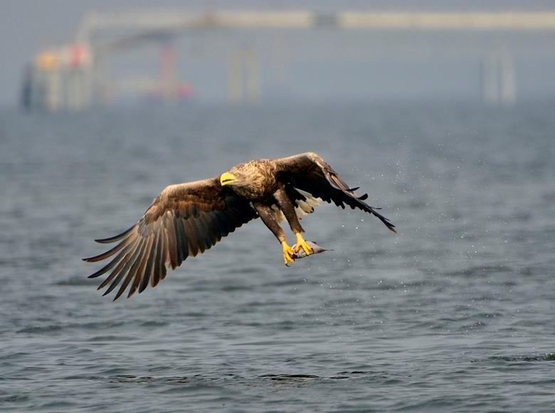 Zeearenden1 - De Oderdelta van Polen is een visrijk gebied met grote bomen langs de oever. Een prima habitat voor een populatie zeearenden. De lokale