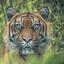 Sumatraans tijgervrouwtje ..