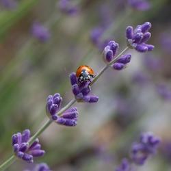 Lavendel Lady