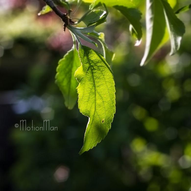 Doorschijnend - De late middagzon schijnt op een blad.<br /> <br /> Ik vind het nog steeds een van de mooiste dingen die je kan zien, de zon die doo