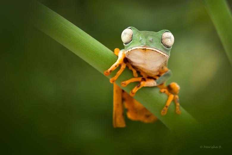 tijgerboomkikker - Phyllomedusa tomopterna, the tiger-leg monkey frog in het engels. De naam dankt de soort aan zijn tijgerstreeppatroon aan weerszijd