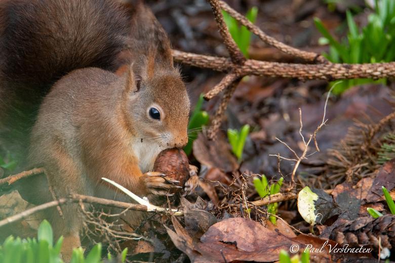 Eekhoorn - Eekhoorn in bos.