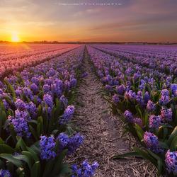 Licht over het hyacintenveld