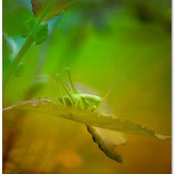 Grasshopper's green