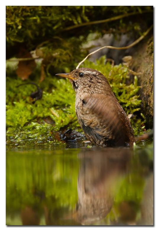 Badderend winterkoninkje - op0 zijn tijd een lekker fris badje nemen dat deed dit winterkoninkje namelijk<br /> ( het lijkt of de opname scheef is (