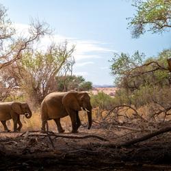 Wilde Woestijnolifanten in Damaraland