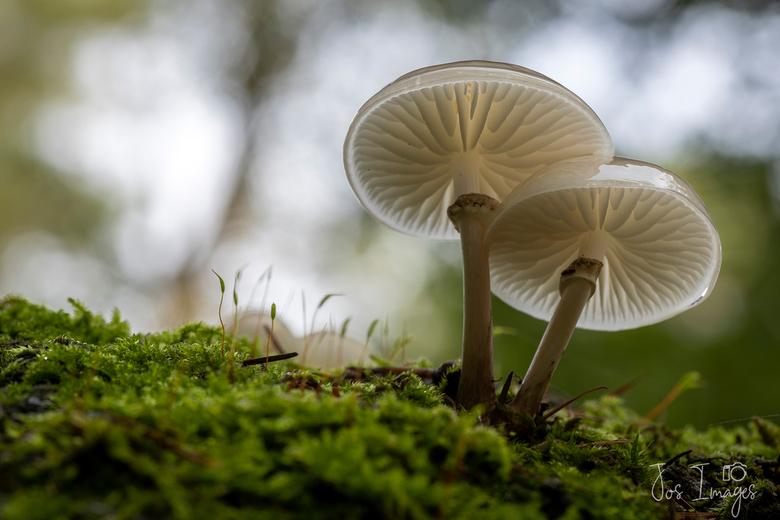Porseleinzwammen - Een mooie dus gevonden in het bos en gelukkig kon ik er onder komen zonder &quot;te tuinieren&quot;. <br /> Groet,<br /> Jos