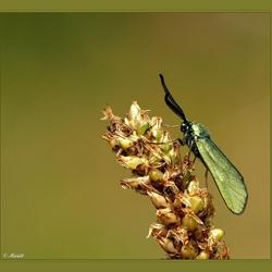 Metaalvlinder (groene zygaene)..
