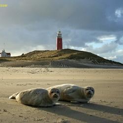 Jonge zeehonden op strand van Texel
