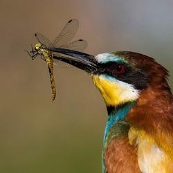 Bijeneter