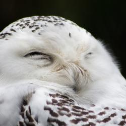 Slapende uil