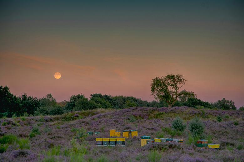 De maan komt op over het Herikhuizerveld - De maan komt op boven het Herikhuizerveld, beter bekend als de Posbank, een prachtig heidegebied op de Velu