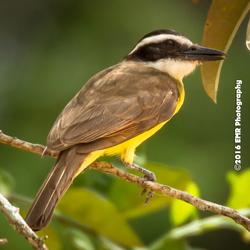 Bird @ Suriname