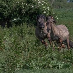 Aanstormende konikpaarden