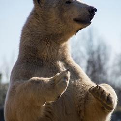Nieuwsgierige ijsbeer.