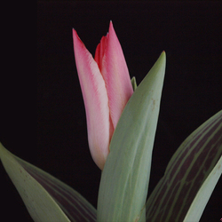 Tulpje.