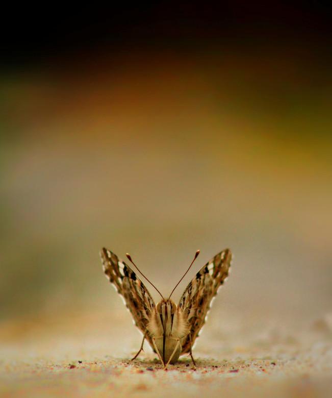 Distelvlinder met kleuren - Deze distelvlinder zat op de grond. Ik had alle tijd en legde mijn fototoestel op een rijstzak. Met mijn telelens op ongev