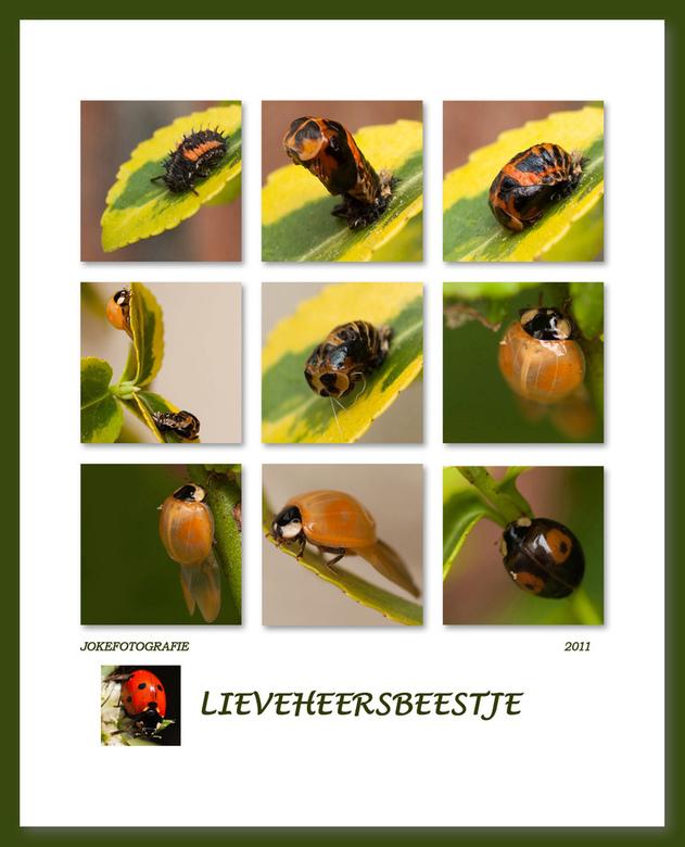 collage geboorte lieveheersbeestje - Vandaag een collage van de foto's gemaakt van de ontwikkeling van het lieveheersbeestje. Zo zijn mooi alle s