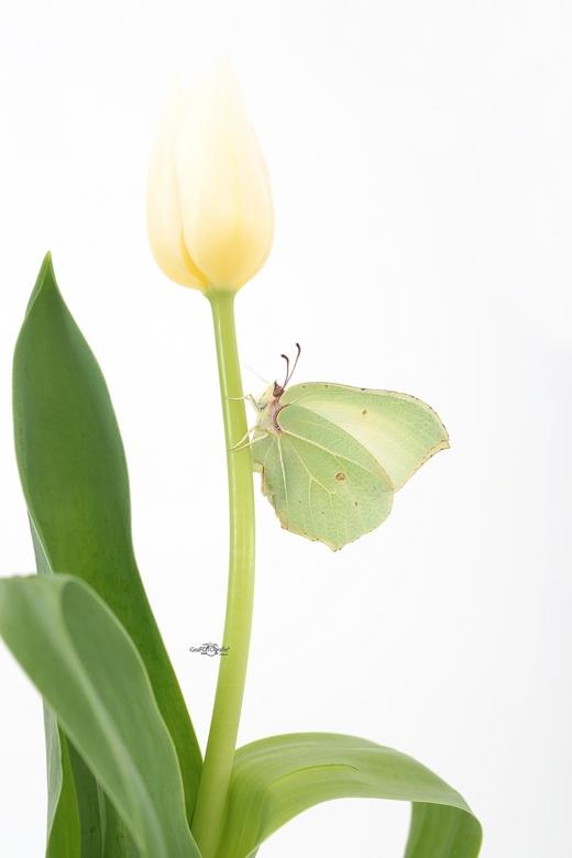 Citroen in groen * - Citroenvlinder<br /> zo mooi ..zo teer...<br /> Lente..<br /> en straks in de zomer meer.