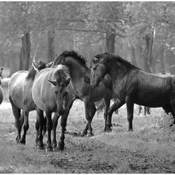 Konikpaarden in de 'Stille Kern'...