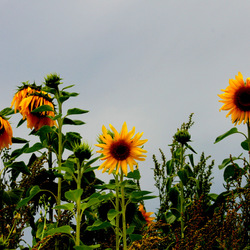 zonnebloem in het veld