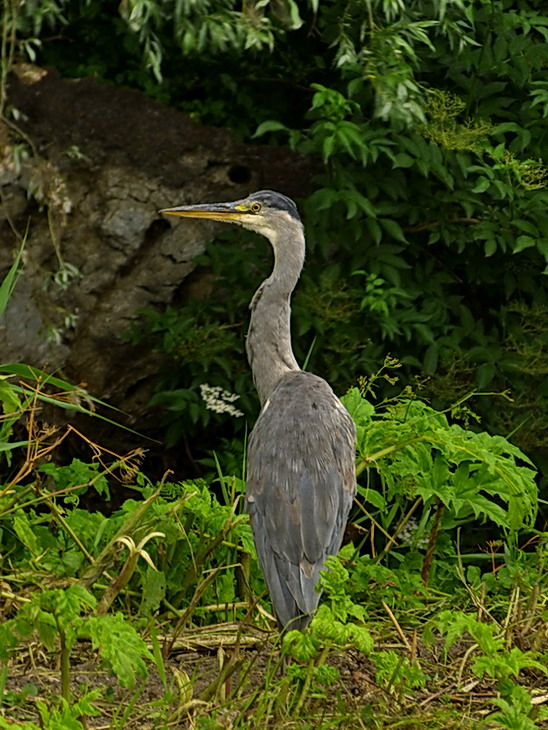 Vogel serie 185. - Reiger gespot in  het diemerpark.<br /> 4 juli 2013.<br /> Groetjes Bob.