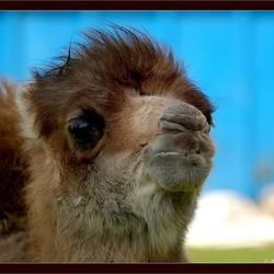 Jong kameeltje..